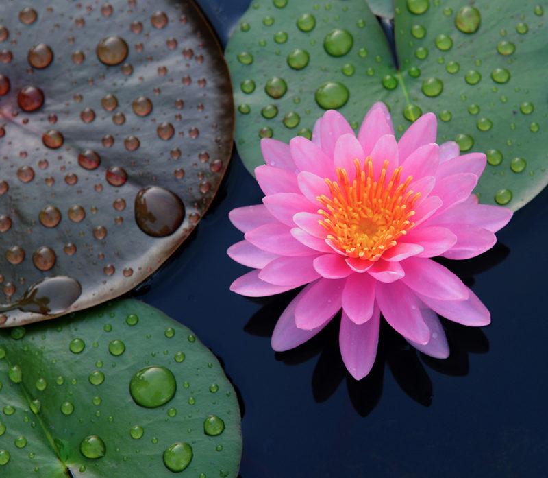 Lotosblume und Lotosblätter auf einem See